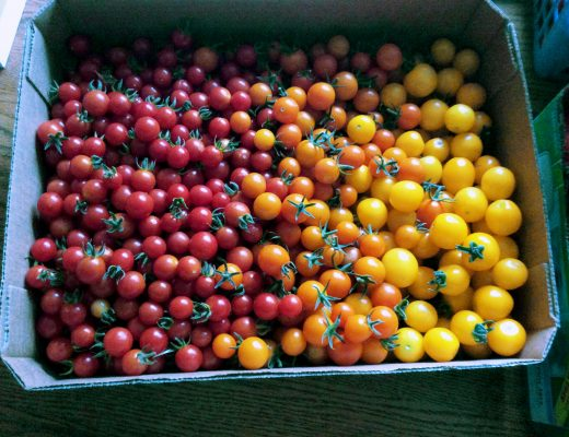 A bin of different colored tomatoes