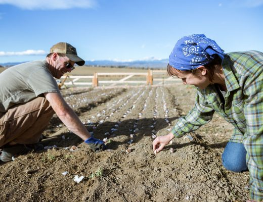 Two farmers planting garlic